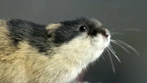 旅鼠一年可繁殖60万只,达到一定数量就集体跳海,专家至今不能解释