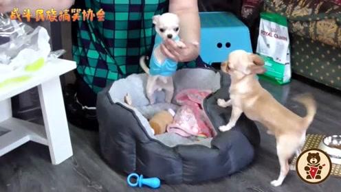 主人给吉娃娃穿新衣服,狗子开心的直打滚