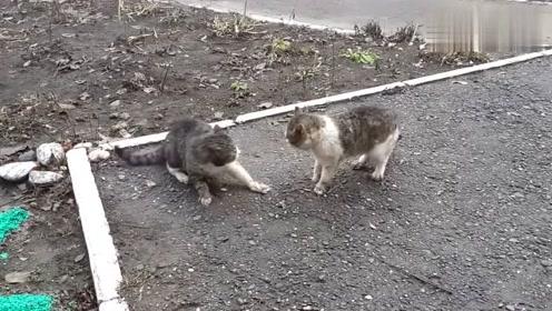 狸花猫打架,战斗激烈,你们快别打啦