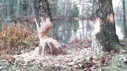 男子偶然去山上转转,看到两棵大树被咬断,镜头拍下罪魁祸首