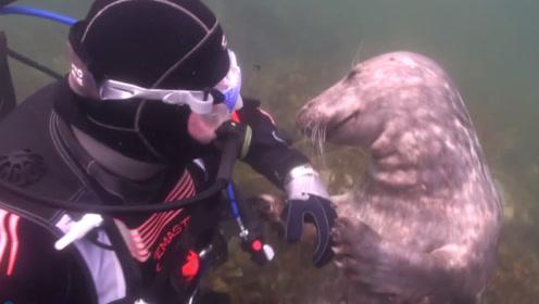 海豹一直拉着潜水员的手,男子很困惑,直到它往后一躺才秒懂