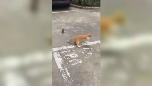 猫咪小区内被老鼠追着跑 网友:丢尽了猫脸