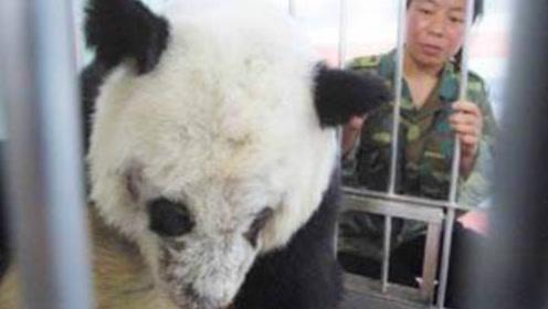 倍受全球欢迎的熊猫,在死亡后会怎么处理它们尸体?看完让人心疼