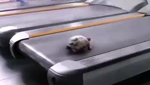 乌龟究竟能跑多快你知道吗?这只乌龟连跑步机都能搞定!