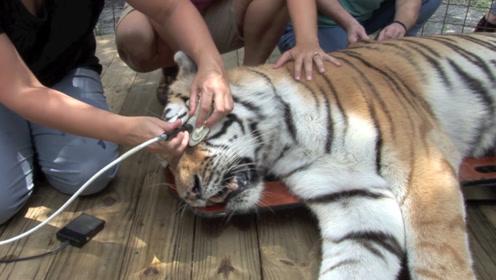 老虎几天不吃不喝,检查后发现胃里有东西!医生取出后发财了
