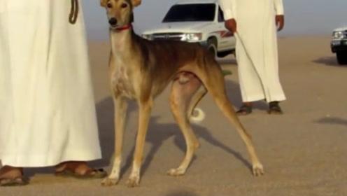 迪拜土豪花几百万买的猎狗,起步的一瞬间,才知道什么叫物有所值