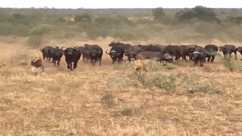 雄狮猎杀落单野牛,野牛王带着牛群赶到,狮子差点被乱角顶死