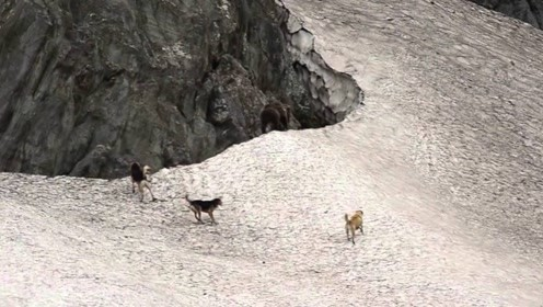 棕熊觅食被3只猎犬包围,双方之间谁会赢?结局让人意外了