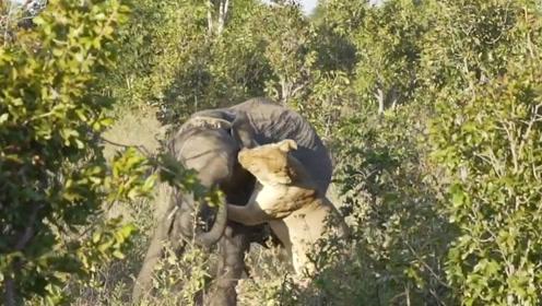 狮子一口咬住大象的脸部,下一秒狮子可悲惨了,镜头拍下全过程