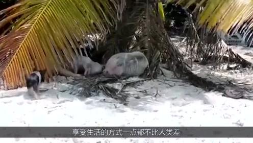 有一个美岛,在这个岛上人迹罕至,却生活着许多野生猪