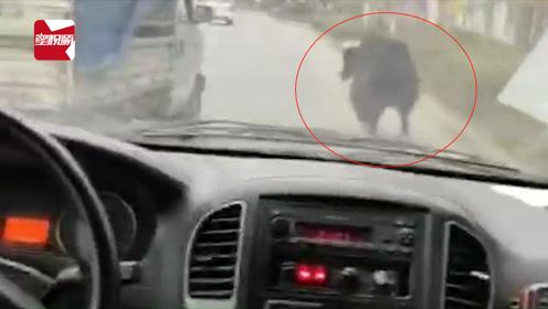 我已出仓感觉良好!一头牦牛在大桥上狂奔,网友:驾驶技术不错