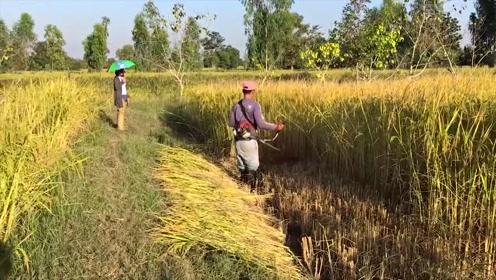 田埂上的小哥,用割草机收水稻,家人大赞这下轻松多了