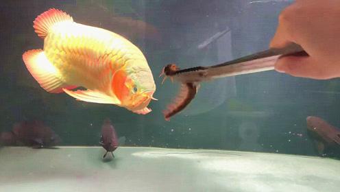 用毒蜈蚣喂食名贵红龙鱼,你猜结果会怎么样?下一幕让人开眼了