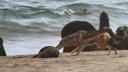 老外跟踪拍摄胡狼捕食,老外开始不淡定了:这智商让人着急啊