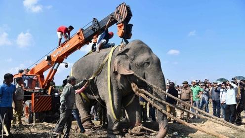 """印度大象""""本·拉登""""踩死5人吓坏村民 被抓捕6天后死亡"""