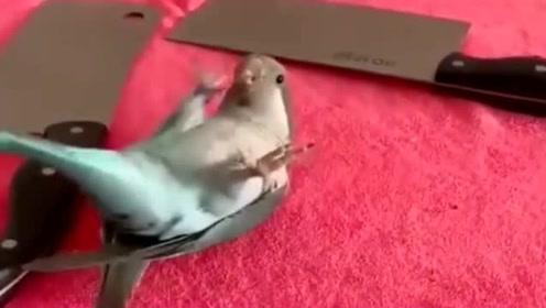 """男主人""""嘣""""的一声,快看看小鸟的反应,太聪明了!"""