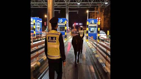 凌晨4点黑牛高速上散步 民警徒步2公里牵寻主人