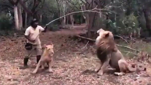 男子在凶猛母狮前狂挥树枝 神发展让网友看傻