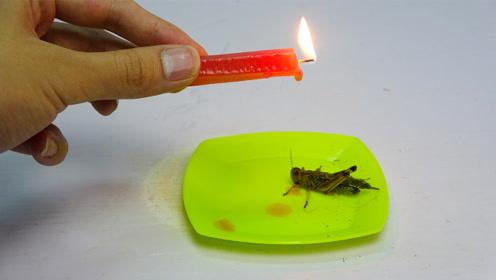 用蜡烛来滴害虫——蝗虫,看它会有什么反应?