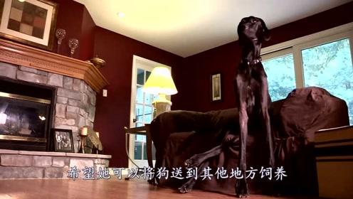 女子养了世上最大的狗,站起来2米3,心甘情愿为它单身一辈子!