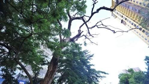 中国最霸气的树40名保安24小时看护 价值数十亿