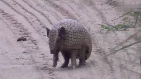 这什么动物啊?一感觉有危险就马上缩成一团保护自己!