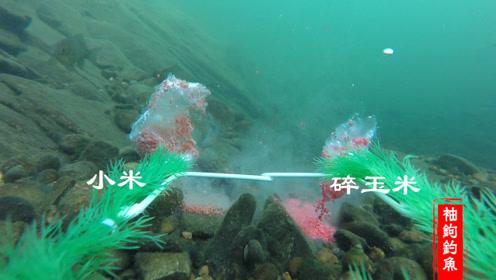 小米和碎玉米泡制的酒米哪个才是鲫鱼的最爱,水下摄像机高清拍摄