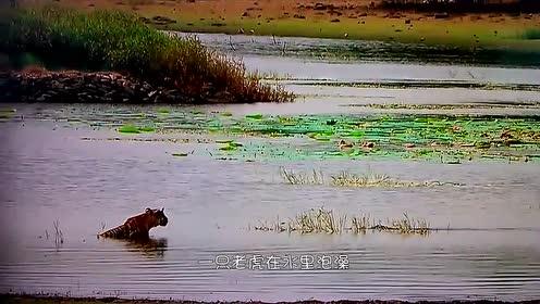 感人!狮子兄弟渡河遭到鳄鱼攻击,哥哥奋不顾身跟鳄鱼搏斗救弟弟