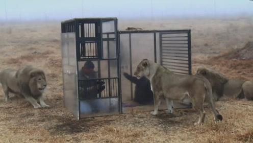 游客被装进笼子中,放在大草原上和狮子近距离接触,狮子太有趣了