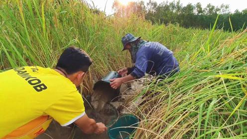 稻田中躲着许多野味,村民舀干水,直接徒手抓鱼,结果收获满满