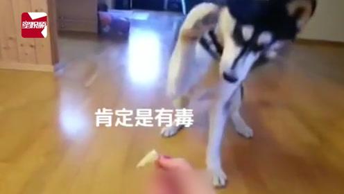 狗狗吃柠檬之后的神反应!从此又疯了一条狗!