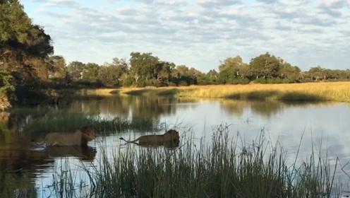 狮子兄弟渡河遭鳄鱼袭击 哥哥跟鳄鱼玩命搏斗救弟弟