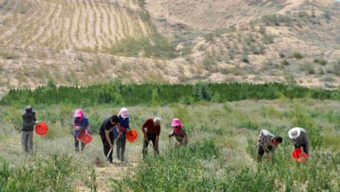 """世界上最没有""""尊严""""的沙漠,被国人种植农作物,产量达到上万斤"""