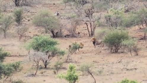 两头雄狮巡视领地时,发现一头流浪雄狮,直接对它发起了攻击
