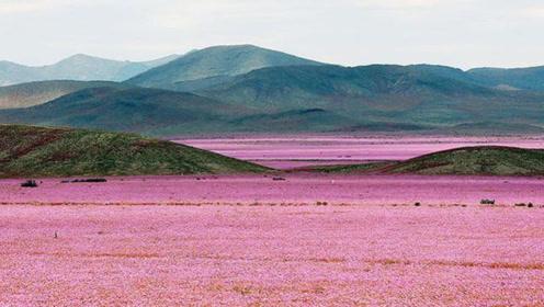 """被称为世界""""干极""""的沙漠,在一场超乎往常的雨后,变成了花海"""