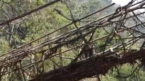 印度用树种出来的桥梁:存在500余年却越来越牢固,桥身就是树