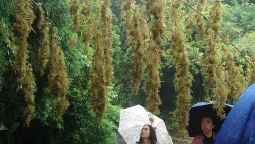 为什么说竹子开花快点搬家?今天算是看明白了