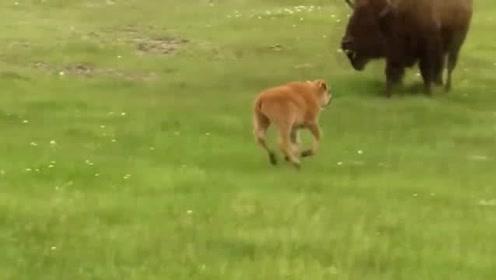饥饿狼兄弟相中了小野牛,牛妈妈不顾生命安全,毅然决然留下保护小牛
