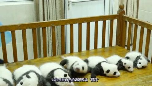 熊猫宝宝试图越狱,被饲养员及时发现送还给熊猫妈妈!