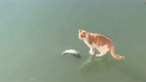 鱼就躺着离自己不到一厘米的冰面上,看得见摸不着,小猫咪快急死了!