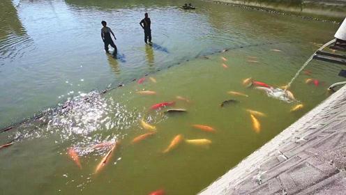 胖嘟嘟的日本锦鲤迎来了大丰收,村民忙坏了,收获的都是值钱的宝贝