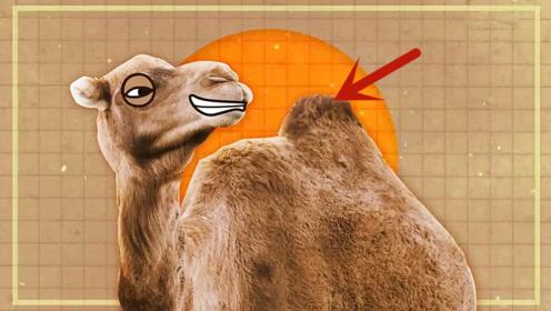 原来骆驼驼峰里藏的不是水?那它把水藏哪里了
