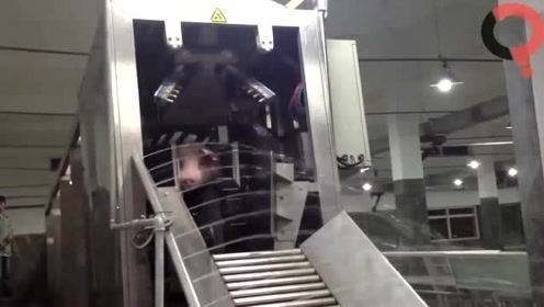 今天带你走进工厂,看看是如何自动化杀猪的