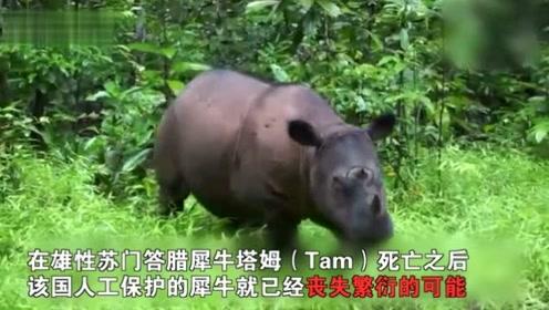 马来西亚最后一头苏门答腊犀死亡 全球仅剩不到80头