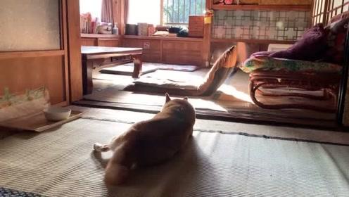 实拍我家柴犬和黑猫的悠闲生活,感觉这俩货比我活的爽多了!