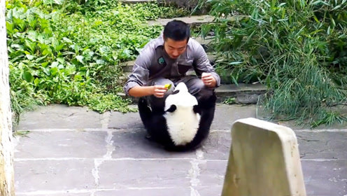 奶爸要给大熊猫戴小黄花,熊团子一脸嫌弃,内心直接崩溃