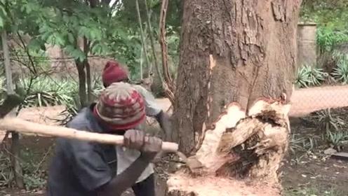 非洲小伙伐木没有机器工具,只能用力气砍树,干一会就得歇一会!