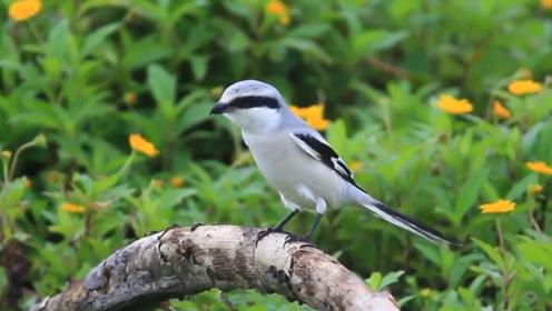 """自然界中有名的""""屠夫鸟"""",出了名的不好惹,动物见了它都避之不及!"""