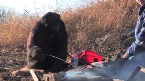 """猩猩界的""""大顶级厨师"""",自己烧烤做饭10年,味道让人惊艳!"""