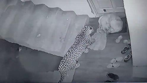 豹子深夜觅食发现一只狗,随后一口咬在狗脖子上,镜头拍下全过程